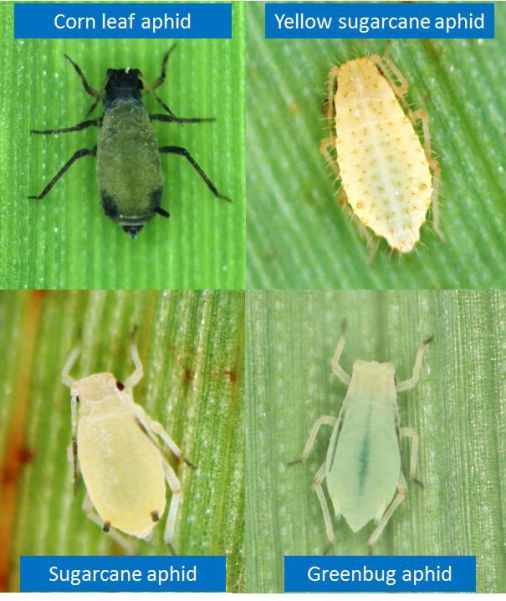Figure 1. Sugarcane aphid can be recognized by its yellow color and black tips to its antennae, cornicles ('tailpipes'), and tarsi ('feet'). Using a hand lens these species can be easily identified