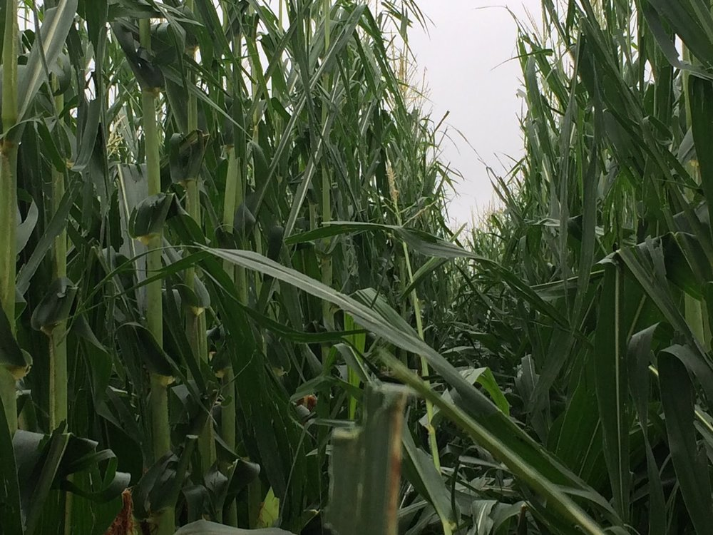 Most leaves are attached, just shredded by hail.  Leaves below ears are in decent shape.  Minimal yield loss expected. Credit: Tyler Reynolds, Farmer.