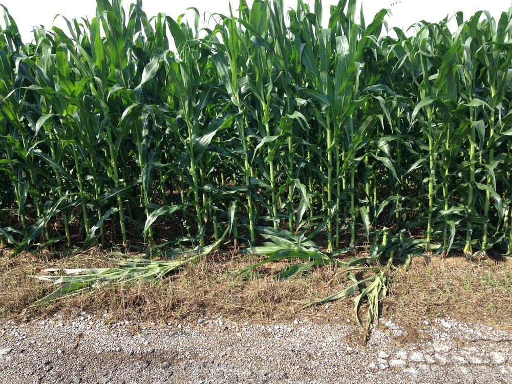 Green snap on corn at edge of field. Small area of the whole field was damaged. Minimal yield losses overall. Credit: Julie Baniszewski, UK Ag grad student.