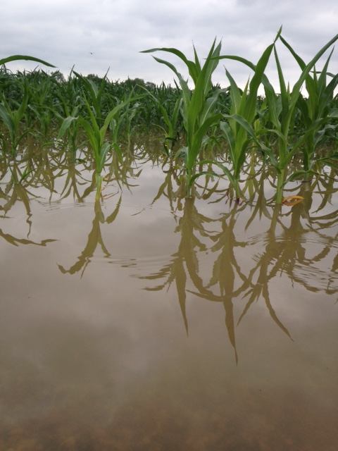 Flooded corn, Butler County, KY. Image taken July 8, 2016 by Greg Drake,  ANR Extension Agent