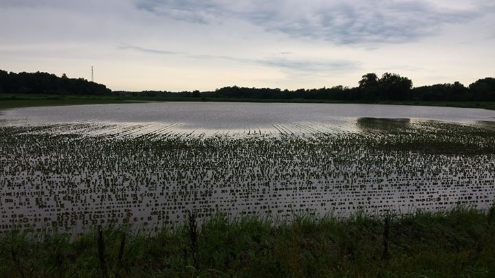 Flooded Corn, Webster County. Image taken July 8, 2016 by Vicki Shadrick, ANR Extension Agent.
