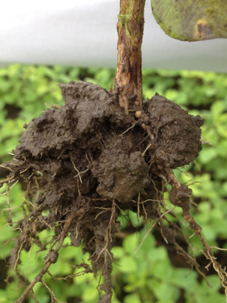 Nodules are present but probably  dying in the saturated soils.