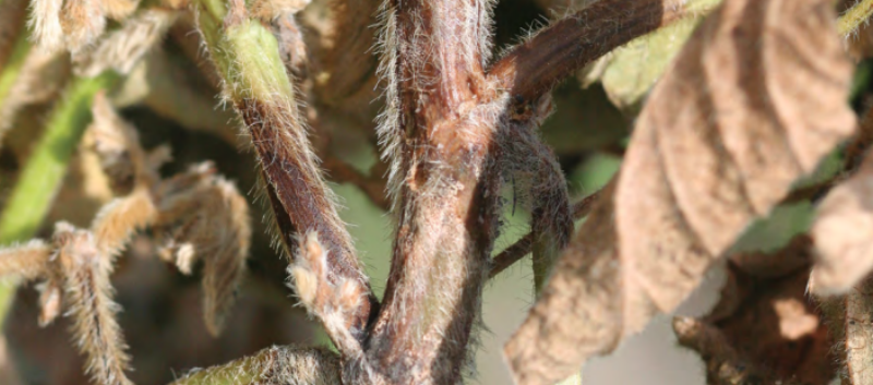 soybean pod and stem blight - 800×353