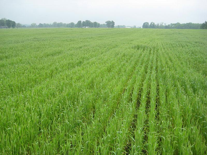 wheat - spring 2.jpg