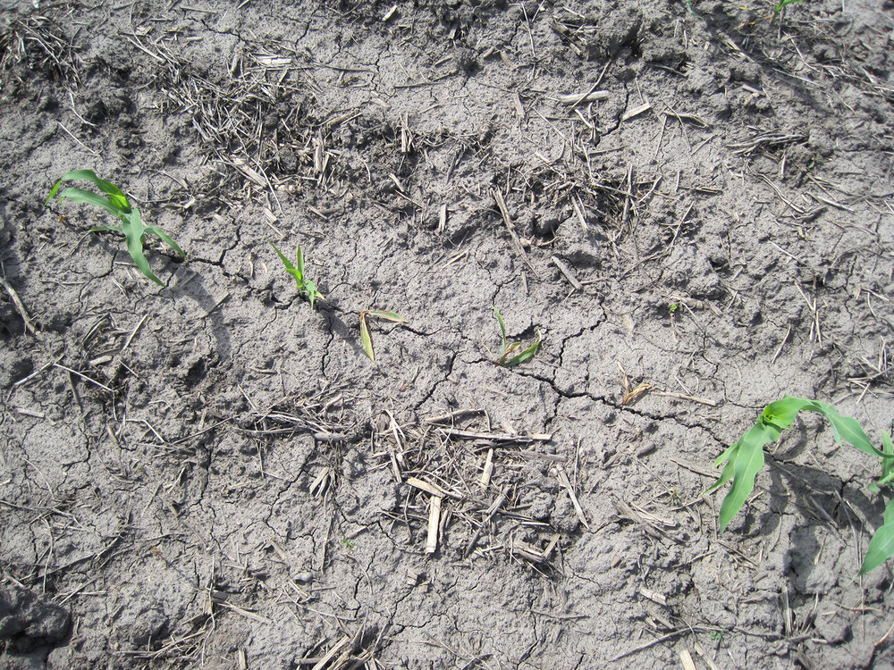 Figure 1. Corn plants affected by seedling blight may have poor emergence within a row or an area in the field. (Photo: Kiersten Wise, UK)
