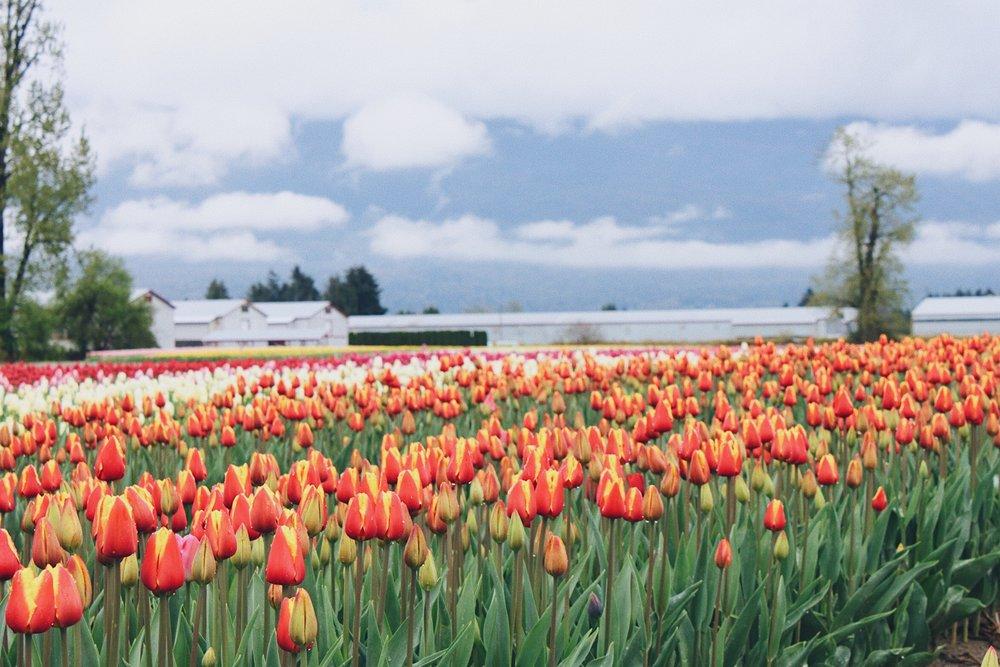 tulips2017-01