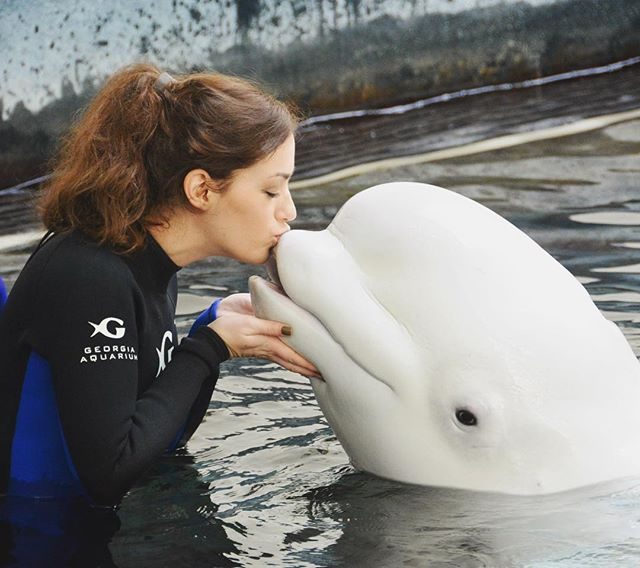 Kissing a bundle of precious, squeaky joy! Can't tell y'all how excited I was to meet Maple, Qinu and Nunavik today and to learn about @georgiaaquarium's conservation efforts surrounding their populations! Thanks to my mama for going with me... she got the worst of the splashes 😂❤️ . . .  #belugainteraction #georgiaaquarium #atl #atlanta #beluga #whereismybelugaemoji #whyistherenobelugaemoji #petitionjapanforbelugaemoji