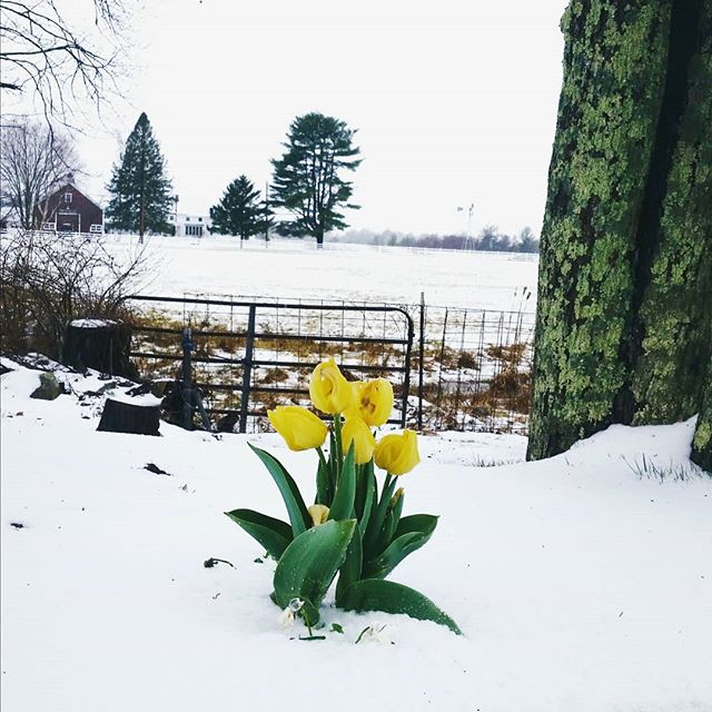 Really didn't expect snow on my birthday this year, I don't think these tulips did either ☔ ❄🌷#endlesswinter #32ndbday #springtimetulips #newhampsire