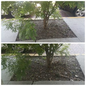 1 - 1 - PhotoGrid_1465151132761 before and after tree in sidewalk along Melrose