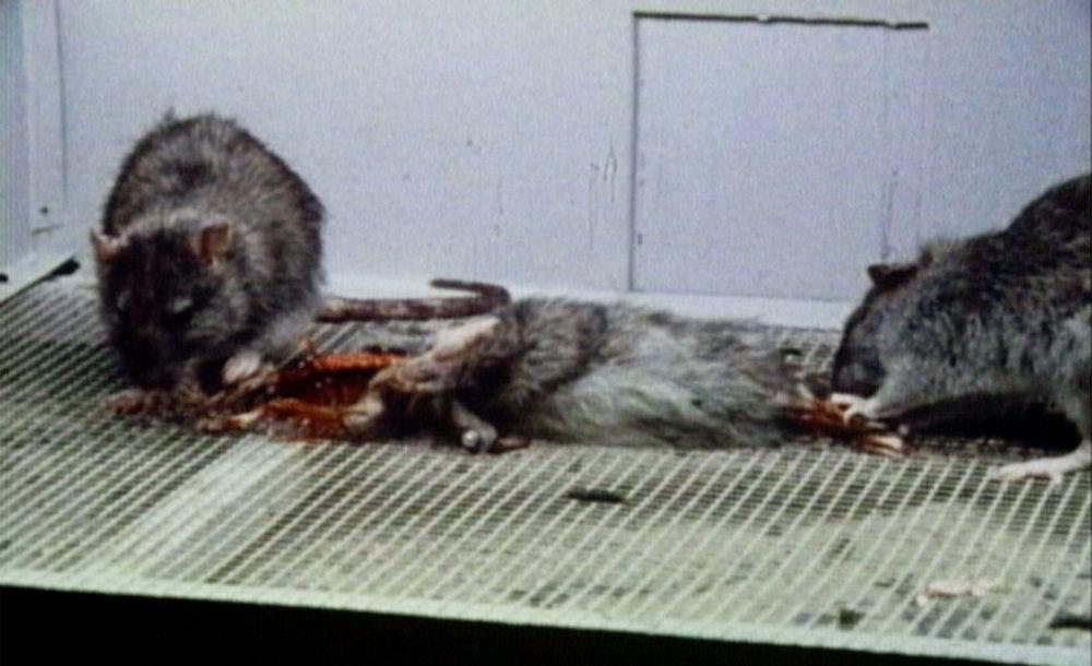 RATS Eating Rats copy.jpg