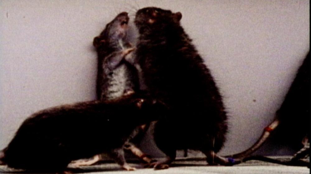 RATS Fighting1 copy.jpg