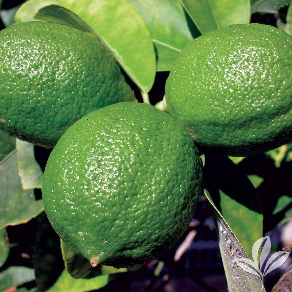 Persian Lime 1015318.jpg