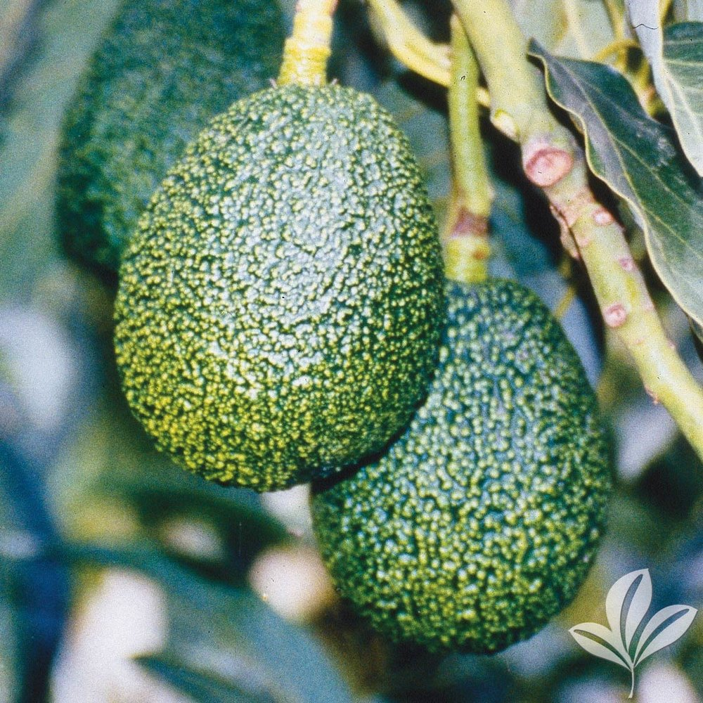 Lila Avocado 109829.jpg