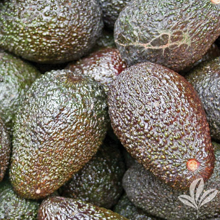 Hass Avocado 1034840.jpg