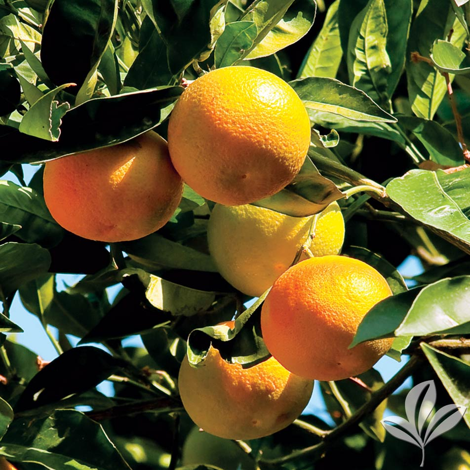 Clementine Mandarin 1026540.jpg
