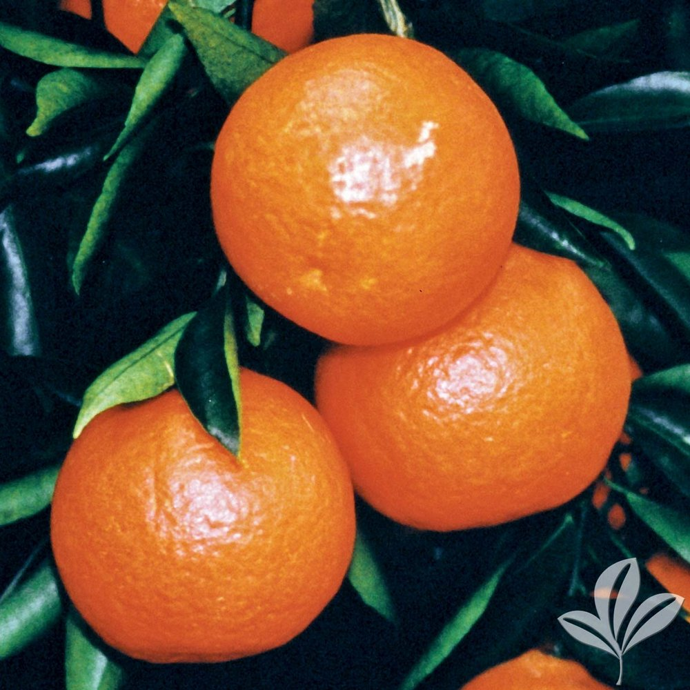 Sunburst Tangerine - Bumper Satsuma 1026528.jpg
