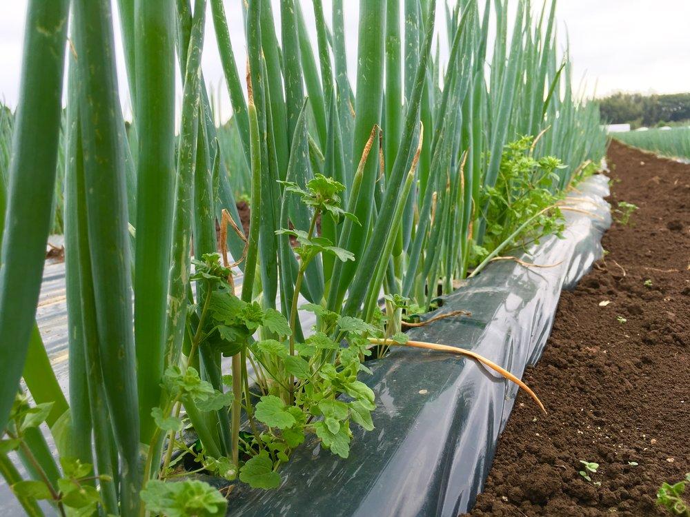 ネギの苗を植えた脇から生えてくる雑草を抜きます。