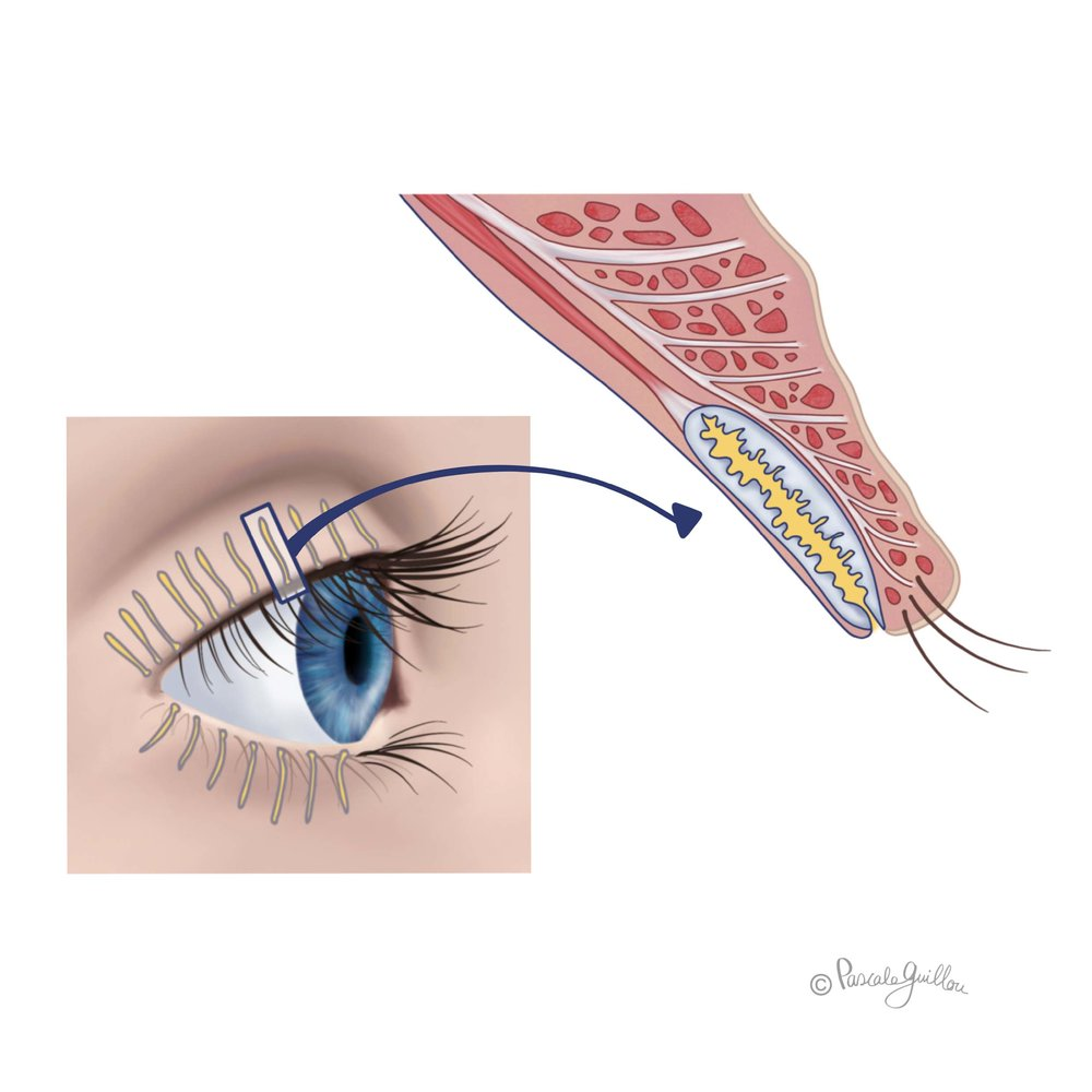 VisuXL VisuFarma Medical Illustration 1 Eye Cross-section  ©Pascale Guillou