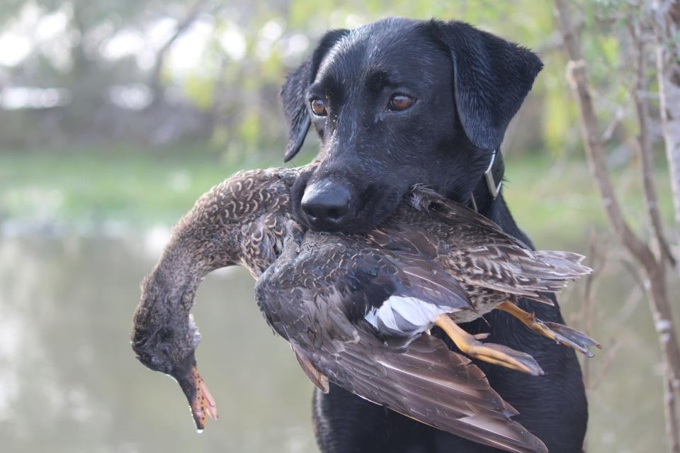 addie with  gadwall.JPG