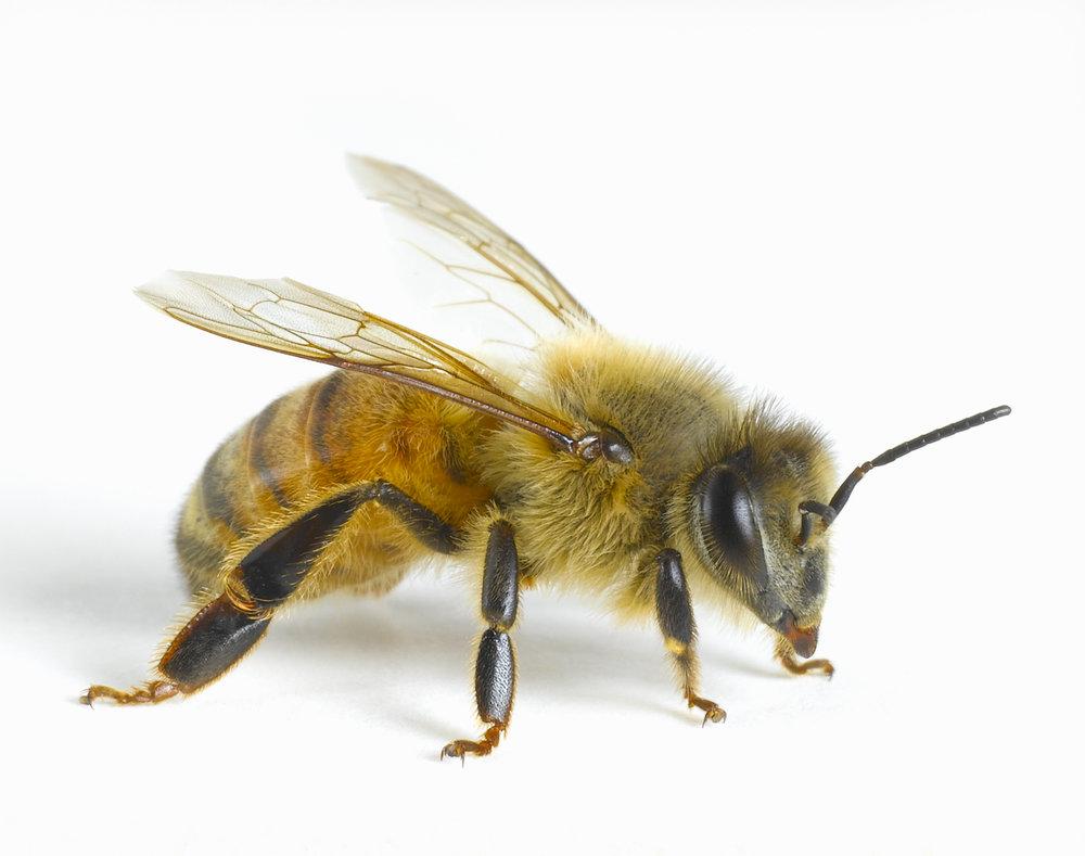 apis mellifera  - a worker bee
