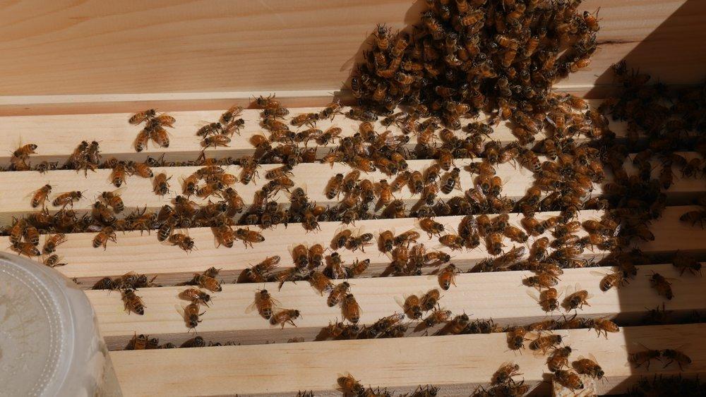 Festooning Bees