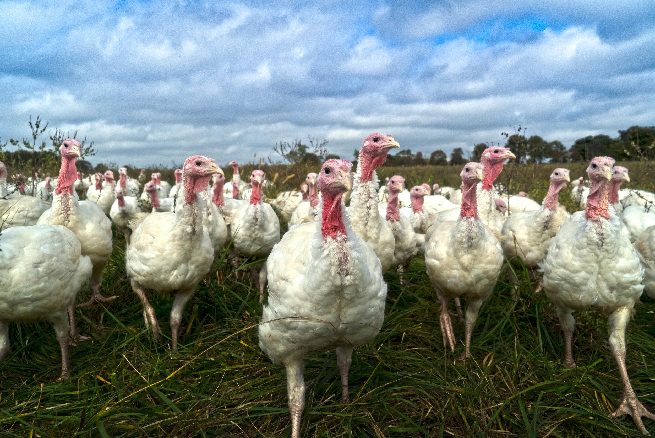 turkey-stampede