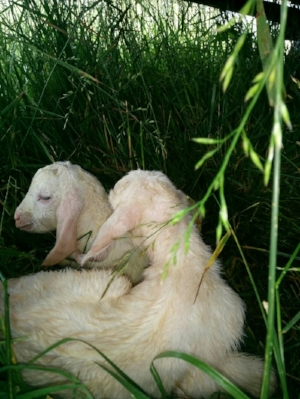 Our two new baby goats, born last week. They are a sweet addition to our farm.
