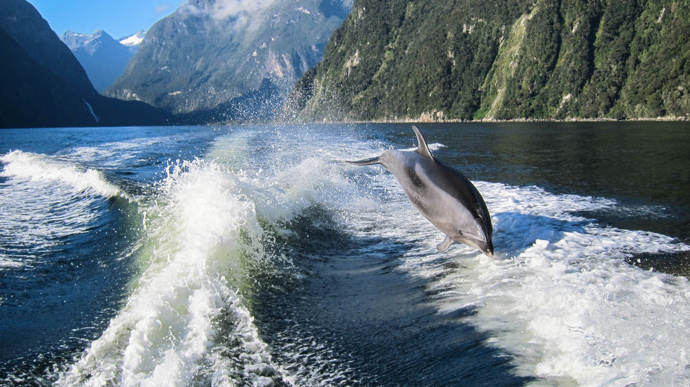 Dolphins chasing after our boat in Milford Sound, South Island.