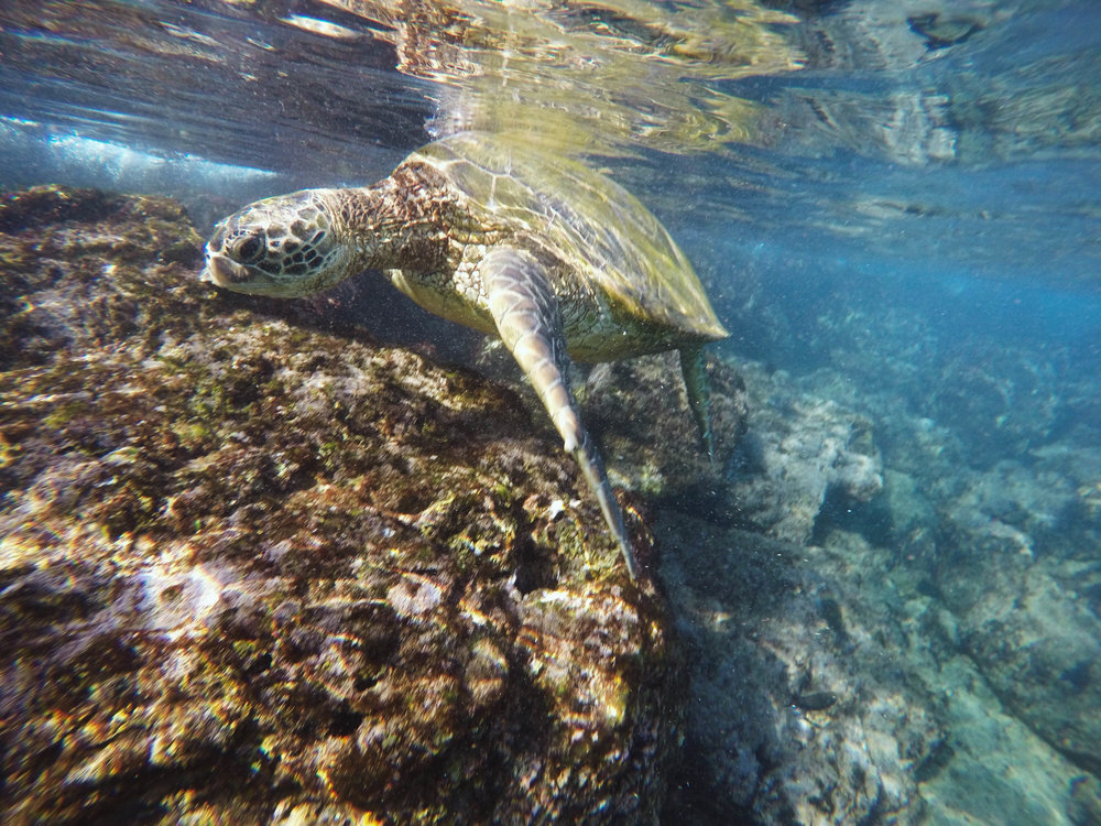 "Snorkeling with a turtle at ""Black Rock"" off Kaanapali Beach, west Maui"