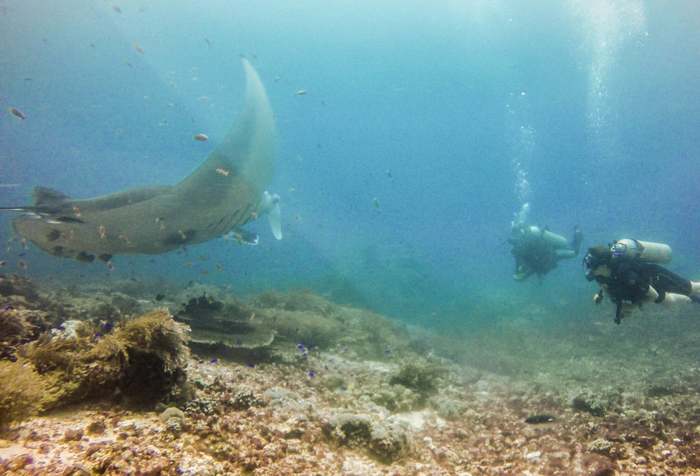 Diving with oceanic mantas at Manta point