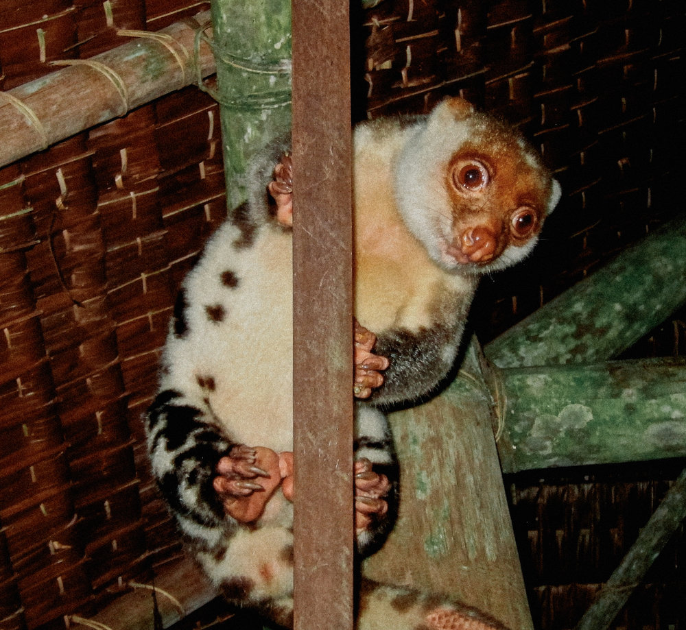 Meet the resident Cuscus, Norman! He hangs out each night waiting to be given bananas.