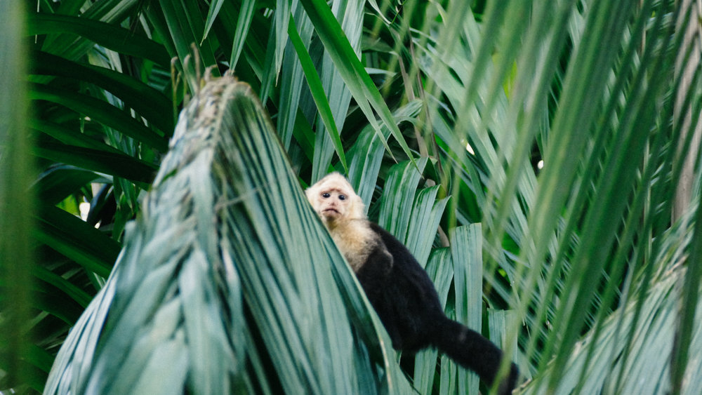 First monkey spotting of the trip! This is the White-faced capuchin
