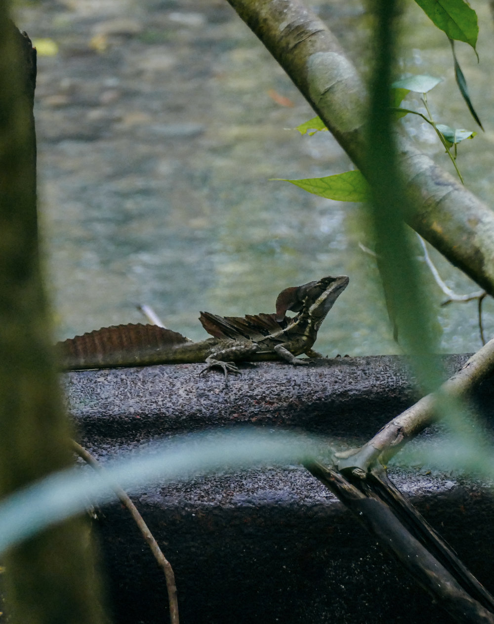 "The ""Jesus Christ Lizard"" can run across water which we saw him do twice, once in Drake Bay and once in Corcovado"