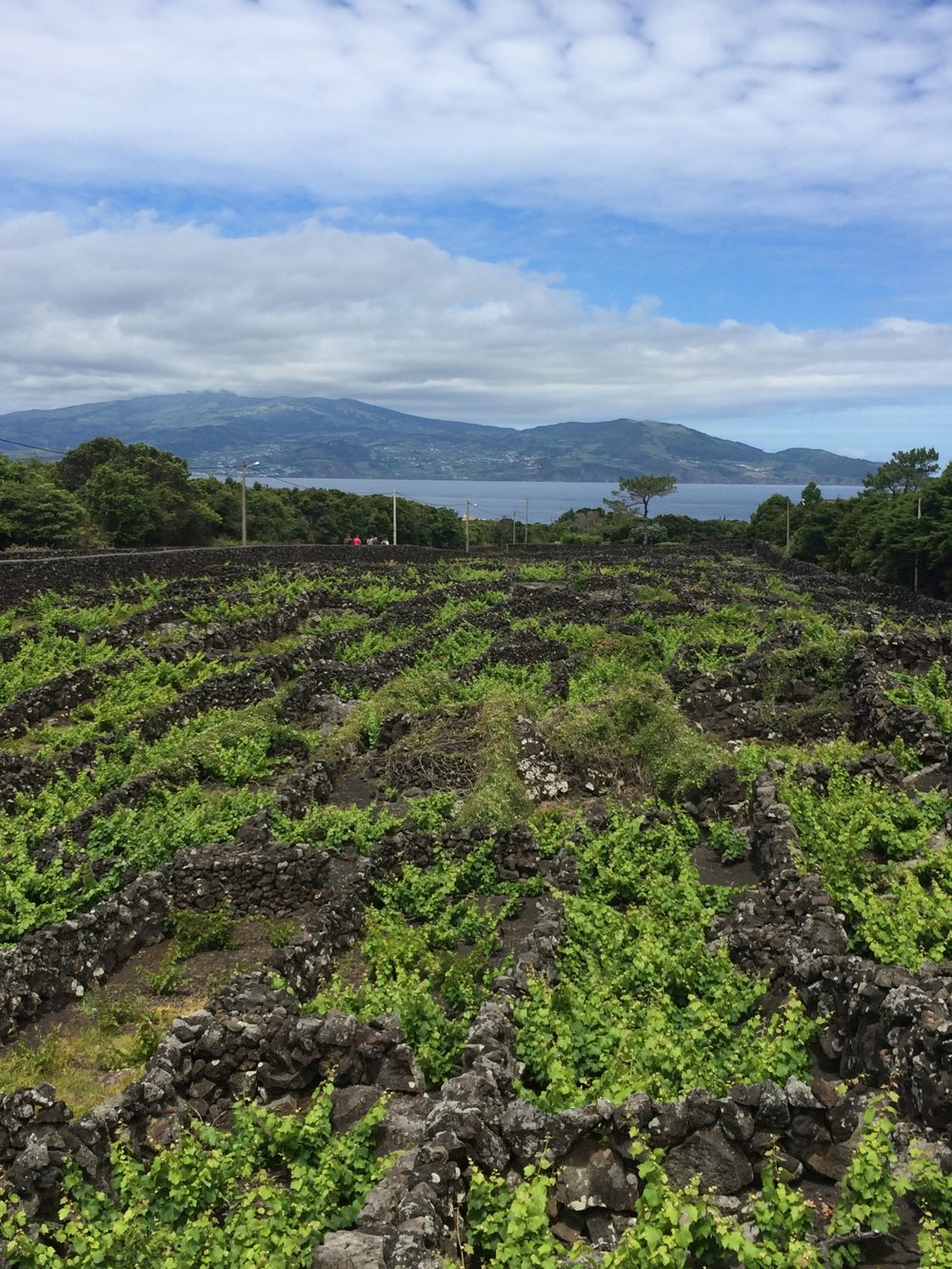 Wine grapes planted within basalt walls at the edge of the sea.