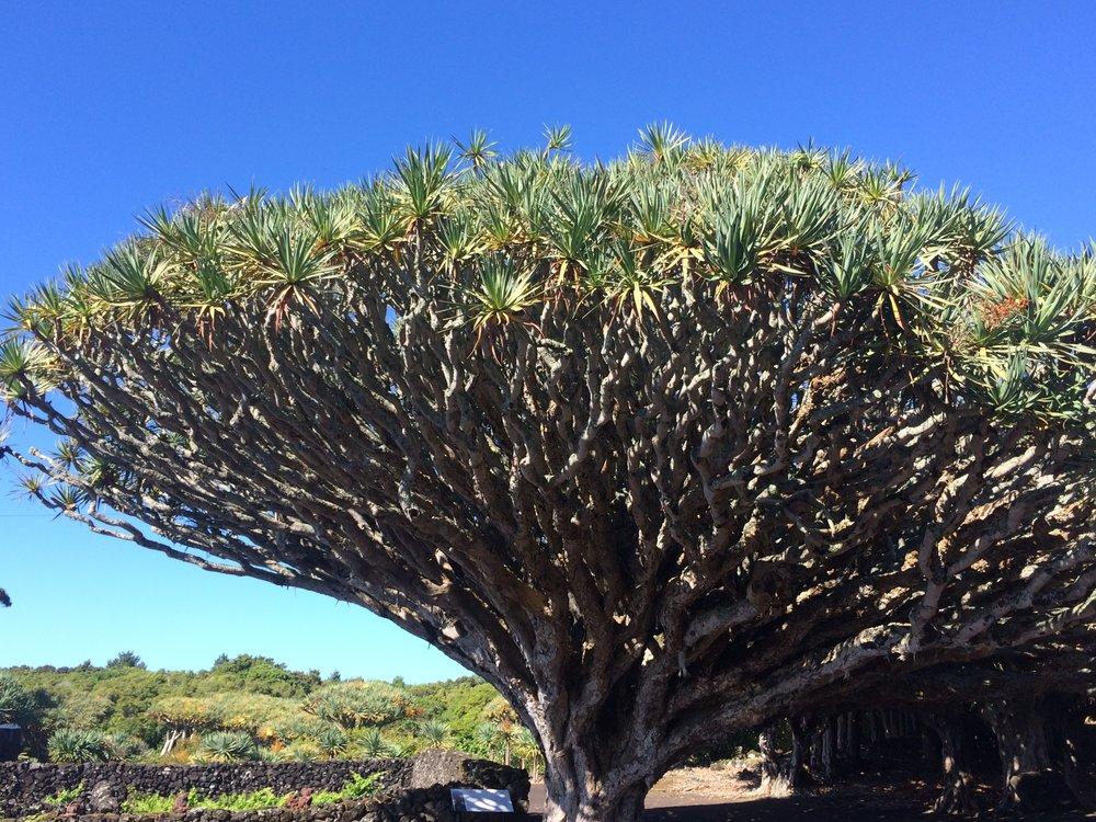 The 800-year-old plus dragon Tree.