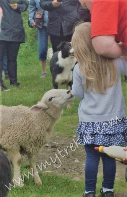 Learning how to bottle feed a lamb.