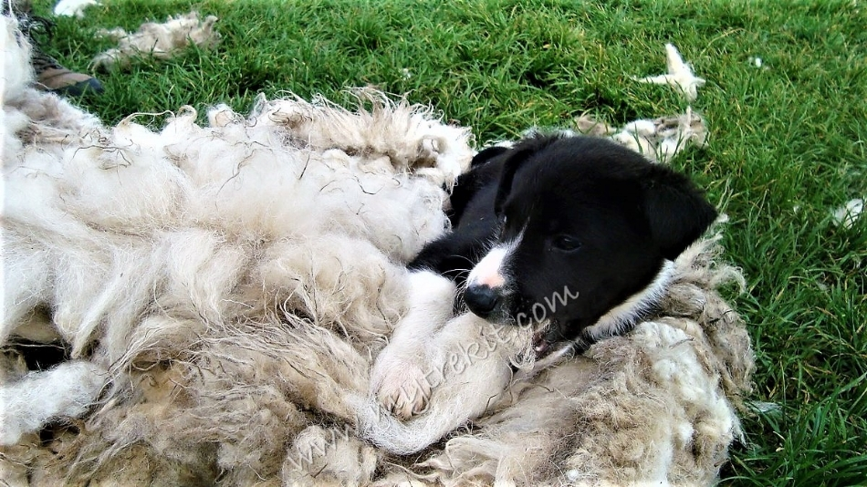 Lounging around on sheep's wool~it's a pup's life!