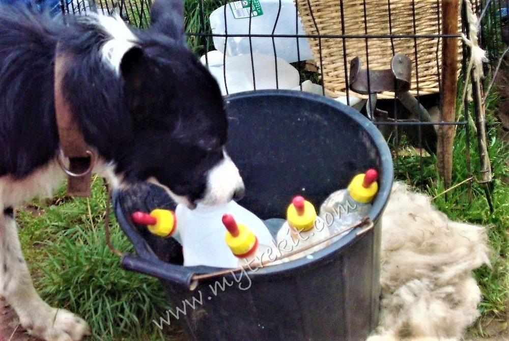 Well, that milk is for feeding the sheep, but this Border Collie has other ideas.