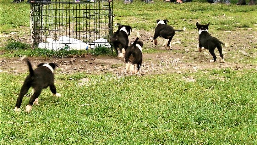 Working Sheepdogs(5).jpg
