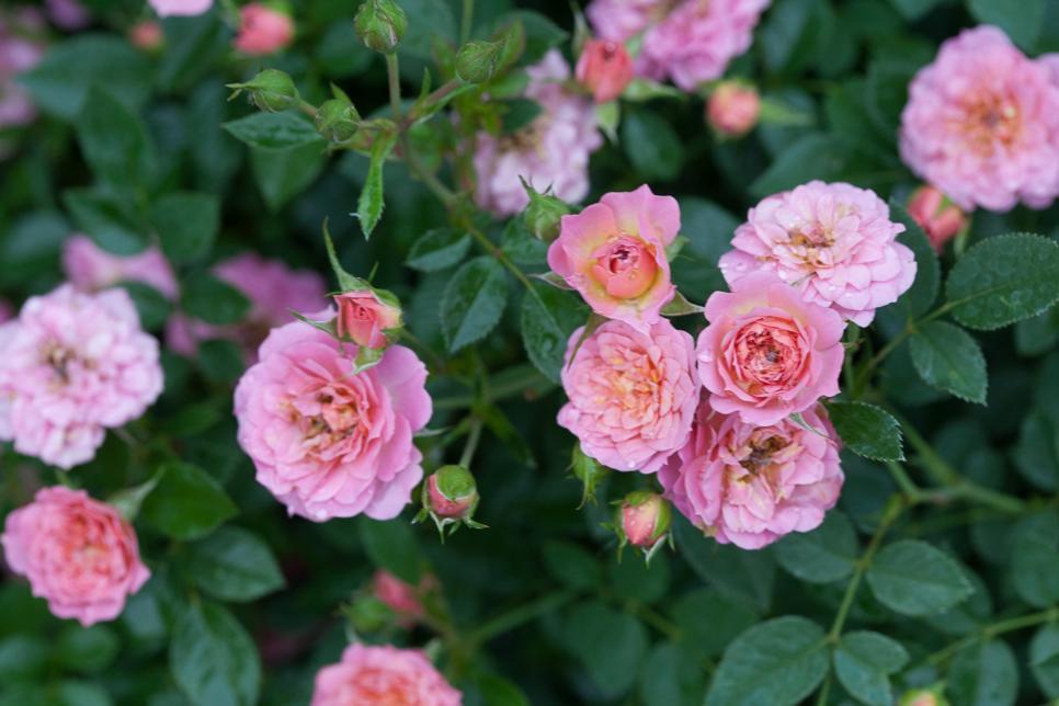 Pink Petite Rose