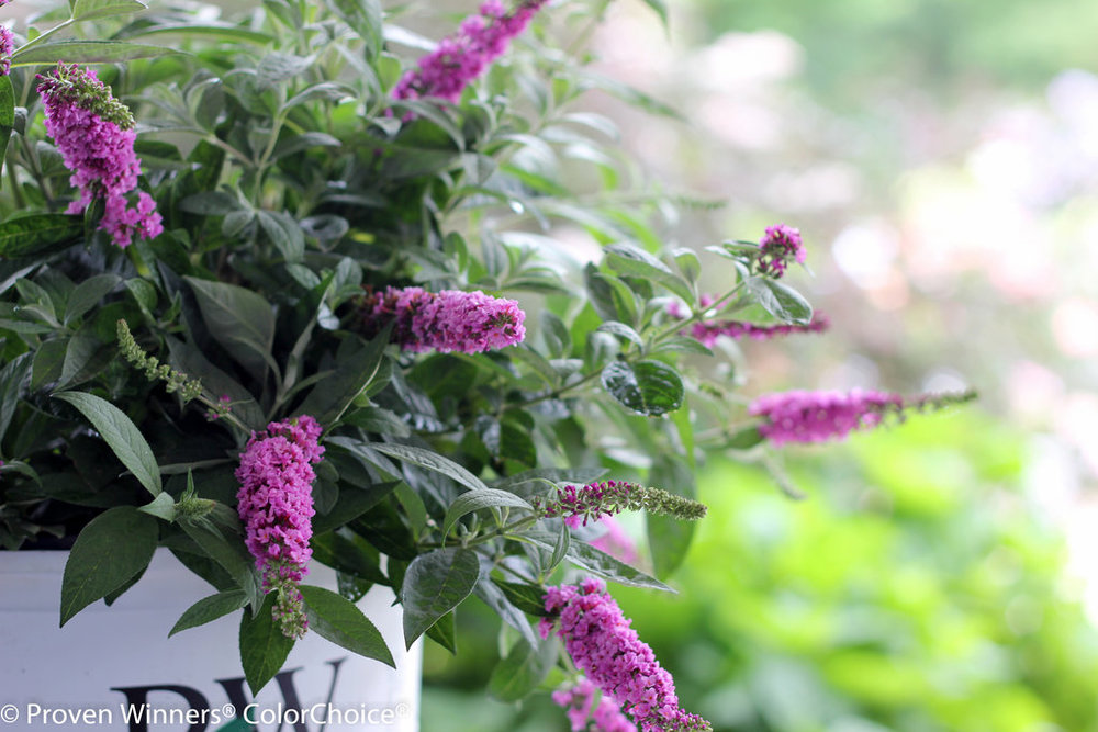 Lo & Behold® 'Pink Micro Chip' Butterfly Bush