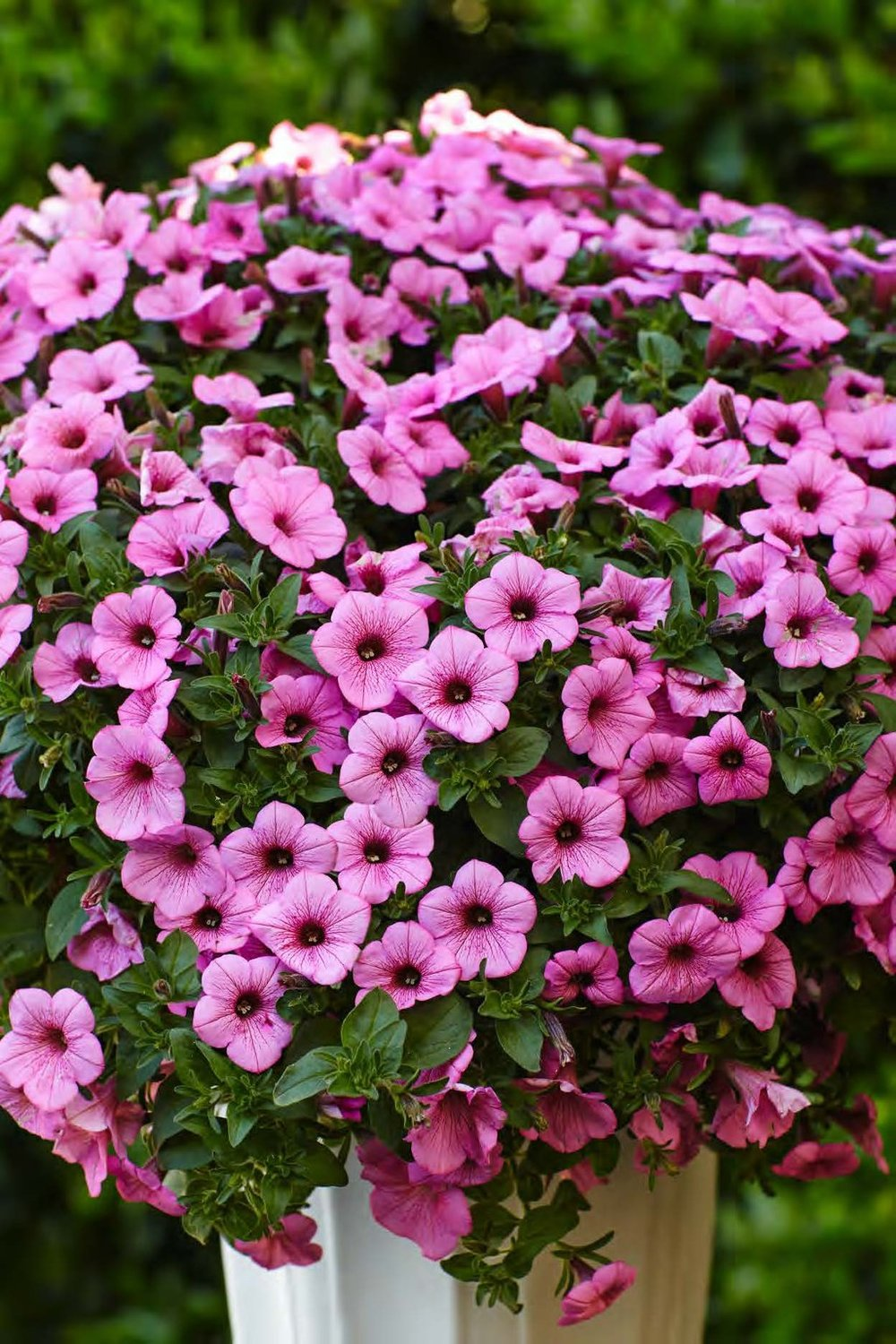 Supertunia® Flamingo™