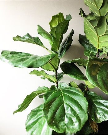 Fiddle Leaf Fig    Looks department - Shawty is a ten  Ease of care - 3  Sunny spot - 8  These are those trendy plants you see in hipster restaurants, Fixer Upper episodes, and probably every Mom blogger posts. Rumor has it Walmart and Lowes do occasionally carry these guys BUT worst case scenario, swing by your local garden nursery and ask for one!