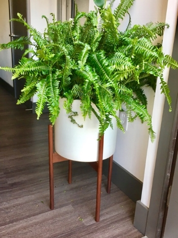 Fern    Looks department - 9  Ease of care - 7  Sunny spot - 6  Yes, I know this isn't your typical houseplant but don't be afraid to think outside of the box! I love ferns but do not have a good outdoor space, so I brought one inside!