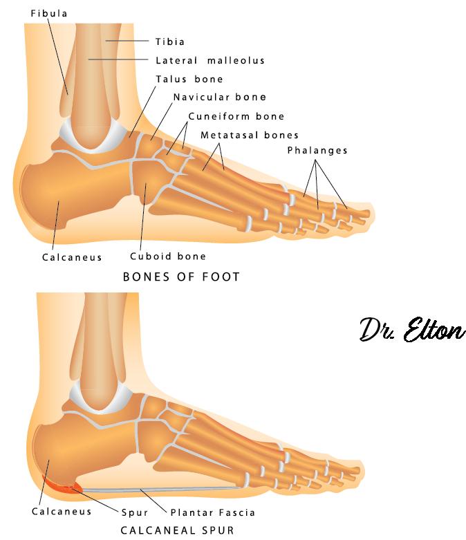 ankle bones.png