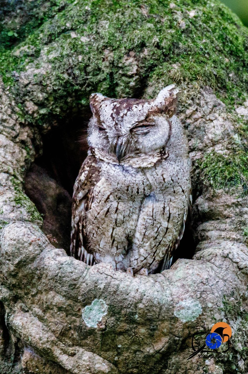 Collared scoops owl.jpg