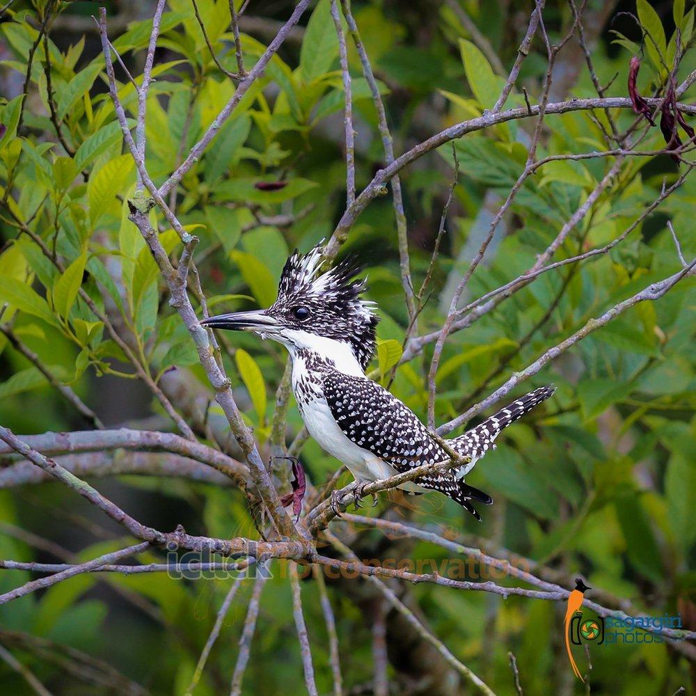 Crested Kingfisher.jpg