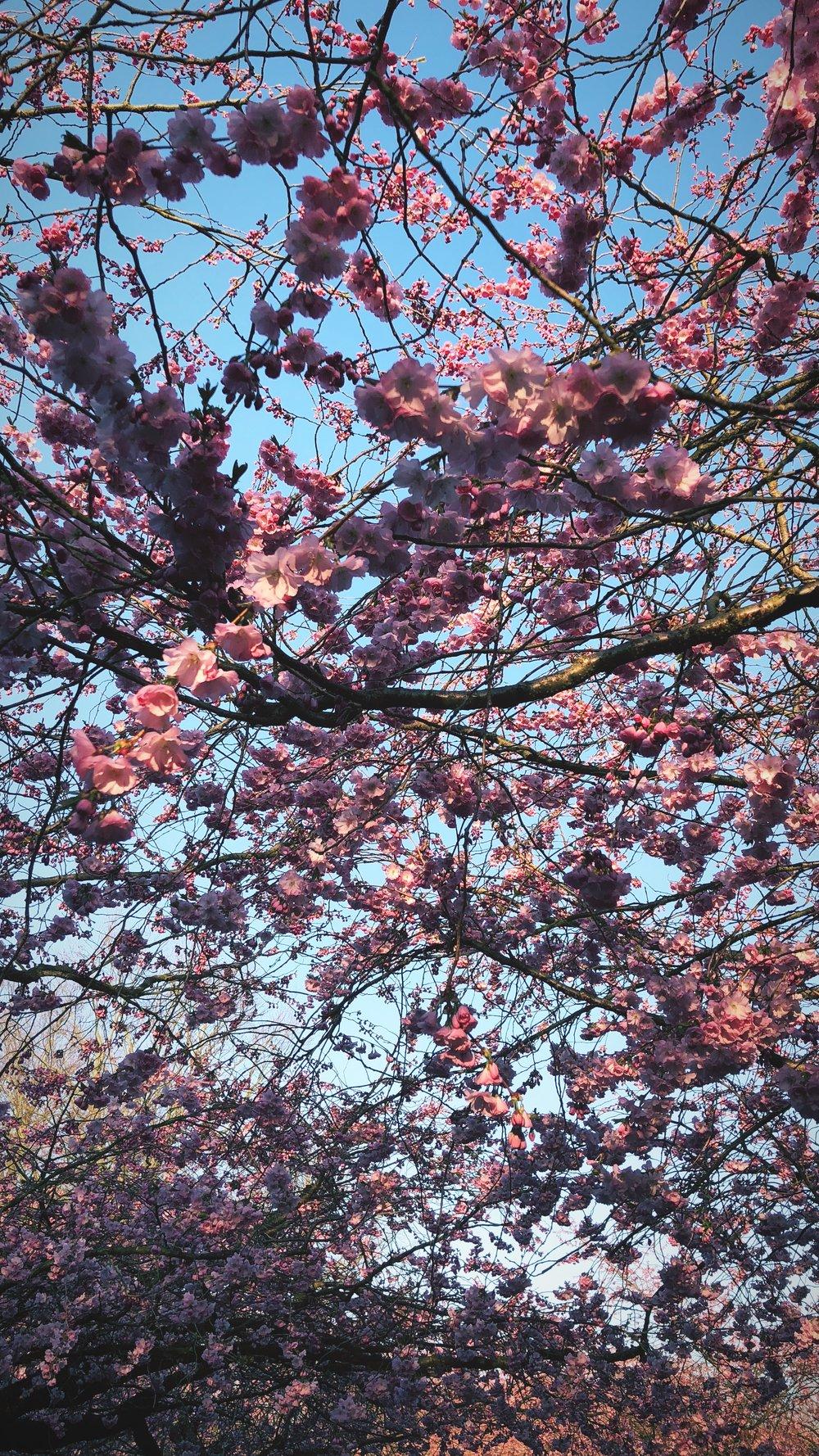 cherryblossom-alantherock.jpg