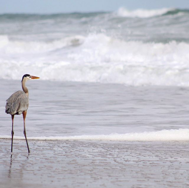 This was the first time I've ever seen a blue heron on the beach. He was just standing in the ocean and watching the waves  and enjoying the ocean breeze. So cool. There's a little video of him if you swipe through to the end :) #acolorstory  #nothingisordinary  #livethelittlethings  #happier2018  #happierpodcast #onmywalk  #aewellnesstribe