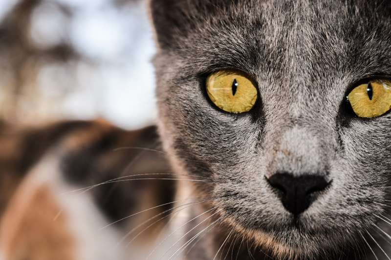 anatomy+of+a+cats+eye+_+grey+cat+with+yellow+eyes-min.jpg